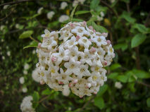 Συστάδα του μικροσκοπικού άσπρου άνθους λουλουδιών spiraea στο κατώφλι Στοκ εικόνα με δικαίωμα ελεύθερης χρήσης