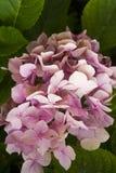 Συστάδα του ροζ Στοκ Εικόνες