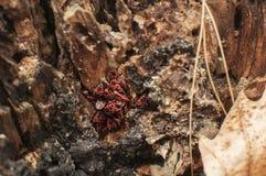 Συστάδα του apterus Pyrrhocoris firebugs Στοκ φωτογραφία με δικαίωμα ελεύθερης χρήσης