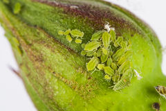 Συστάδα του greenfly σε έναν ροδαλό οφθαλμό Στοκ φωτογραφία με δικαίωμα ελεύθερης χρήσης