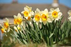 Συστάδα των κίτρινων daffodils Στοκ Φωτογραφία