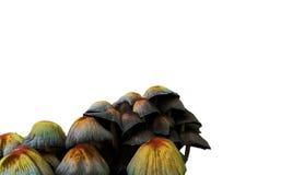 Συστάδα των μανιταριών toadstools Στοκ εικόνα με δικαίωμα ελεύθερης χρήσης