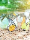 Συστάδα των πεταλούδων στο έδαφος, εθνικό πάρκο Kaeng Krachan, Ταϊλάνδη Στοκ Εικόνες