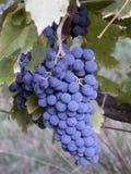 Συστάδα των σταφυλιών στη Γαλλία για να παραγάγει το κρασί στη Γαλλία Στοκ Εικόνες