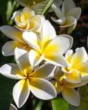 Συστάδα των τροπικών λουλουδιών Frangipani Στοκ Φωτογραφίες