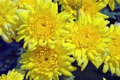 Συστάδα των φωτεινών κίτρινων λουλουδιών χρυσάνθεμων Στοκ Εικόνα