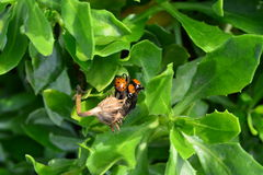 Συστάδα Ladybugs μέσα στο λουλούδι Στοκ εικόνες με δικαίωμα ελεύθερης χρήσης