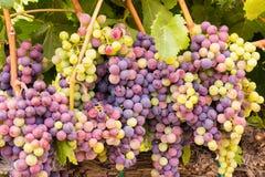 Συστάδες σταφυλιών κρασιού κοιλάδων Napa έτοιμες για τη συγκομιδή Στοκ Εικόνες