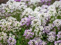 Συστάδες των άσπρων και πορφυρών λουλουδιών Στοκ φωτογραφία με δικαίωμα ελεύθερης χρήσης