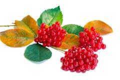 Συστάδες των μούρων φύλλων των guelder-ροδαλών και ενός φθινοπώρου σε ένα whi στοκ φωτογραφία με δικαίωμα ελεύθερης χρήσης