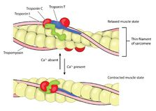 Συστολή και χαλάρωση μυών διανυσματική απεικόνιση