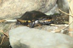 Συστροφή-necked χελώνα Στοκ Φωτογραφίες