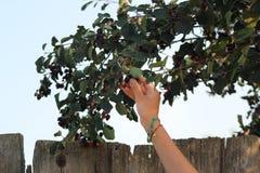 Συλλέγοντας τα μούρα - το χέρι του μικρού κοριτσιού παίρνει το Σασκατούν κοντά στον ξύλινο φράκτη στοκ εικόνα με δικαίωμα ελεύθερης χρήσης