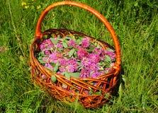 Συλλέξτε τα χορτάρια Βοτανικές εγκαταστάσεις Trifolium pratense, τα λουλούδια κόκκινου τριφυλλιού στοκ εικόνες
