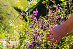 Συλλέξτε τη μαντζουράνα στα βουνά κινηματογράφηση σε πρώτο πλάνο χεριών Στοκ Φωτογραφία