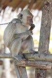 Συλλήφθείτε λυπημένος πίθηκος macaque στην αλυσίδα Στοκ Εικόνες