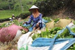 Συλλεκτικές μηχανές Ινδονησία τσαγιού Στοκ Εικόνες