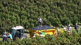Συλλεκτικές μηχανές σταφυλιών που συγκομίζουν τα σταφύλια στους αμπελώνες του Μπορντώ κοντά στην Άγιος-Emilion-Γαλλία φιλμ μικρού μήκους