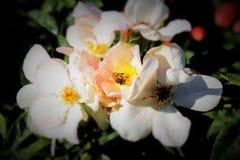 συλλεχθείσα γύρη λουλουδιών μελισσών μέλισσες Στοκ φωτογραφίες με δικαίωμα ελεύθερης χρήσης