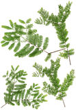 Συλλεχθε'ντα φύλλα κλαδίσκων της Dawn Redwood της μακροεντολής που απομονώνεται στο άσπρο BA στοκ φωτογραφίες