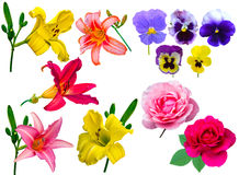 Συλλογή λουλουδιών ο κρίνος συλλογής ανθίζει τα ιώδη τριαντάφυλλα κρίνοι Στοκ εικόνα με δικαίωμα ελεύθερης χρήσης