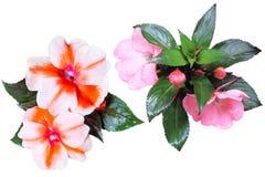Συλλογή λουλουδιών σουλτάνας στοκ φωτογραφίες
