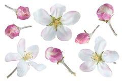 Συλλογή λουλουδιών της Apple στο λευκό Στοκ Εικόνες