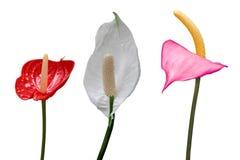 Συλλογή λουλουδιών φλαμίγκο στοκ φωτογραφία με δικαίωμα ελεύθερης χρήσης
