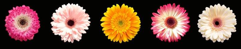 Συλλογή πέντε gerberas λουλουδιών, διαφορετικά χρώματα horizonta Στοκ φωτογραφία με δικαίωμα ελεύθερης χρήσης
