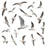 Συλλογή πουλιών που απομονώνεται Στοκ Εικόνες
