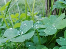 Συλλογή πτώσεων δροσιάς πράσινη Στοκ εικόνες με δικαίωμα ελεύθερης χρήσης