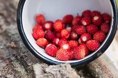 Συλλογή της άγριας φράουλας σε ένα άλσος στοκ εικόνες