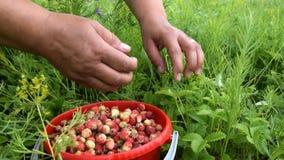 Συλλογή της άγριας φράουλας απόθεμα βίντεο