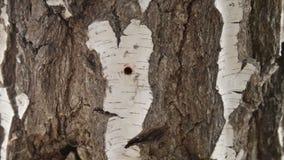 Συλλογή του σφρίγους σημύδων την άνοιξη απόθεμα βίντεο