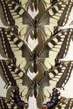 Συλλογή των βικτοριανών πεταλούδων Στοκ φωτογραφίες με δικαίωμα ελεύθερης χρήσης