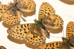 Συλλογή των βικτοριανών πεταλούδων Στοκ φωτογραφία με δικαίωμα ελεύθερης χρήσης