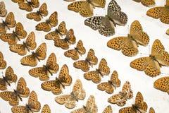 Συλλογή των βικτοριανών πεταλούδων Στοκ εικόνα με δικαίωμα ελεύθερης χρήσης