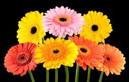 Συλλογή των ζωηρόχρωμων Marigold Gerbera λουλουδιών που απομονώνεται Στοκ εικόνες με δικαίωμα ελεύθερης χρήσης