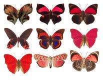 συλλογή των κόκκινων πεταλούδων σε ένα άσπρο υπόβαθρο Στοκ Φωτογραφίες