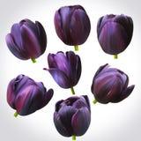 Συλλογή των μαύρων κεφαλιών τουλιπών για το σχέδιο Σύνολο floral οφθαλμών Στοκ Φωτογραφίες