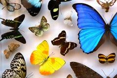 Συλλογή των τροπικών πεταλούδων Στοκ Εικόνες