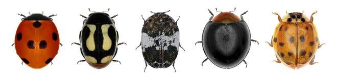 Συλλογή Ladybugs (κάνθαροι λαμπριτσών) Στοκ Φωτογραφίες