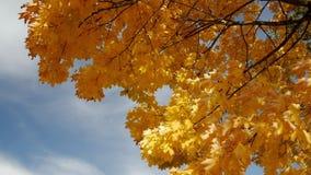 Σφένδαμνος φθινοπώρου ενάντια στο μπλε ουρανό απόθεμα βίντεο