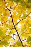 σφένδαμνος φθινοπώρου Στοκ Φωτογραφίες