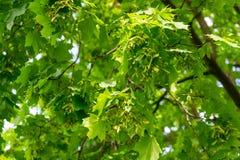 Σφένδαμνος Φύλλωμα δέντρων την άνοιξη, φωτεινή ηλιόλουστη ημέρα στοκ εικόνες