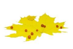 σφένδαμνος φύλλων κίτρινο&s Στοκ εικόνα με δικαίωμα ελεύθερης χρήσης