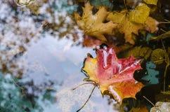 σφένδαμνος φύλλων πτώσης του Καναδά φθινοπώρου το φύλλο των maplelies στην επιφάνεια νερού λιμνών ` s Στοκ φωτογραφίες με δικαίωμα ελεύθερης χρήσης