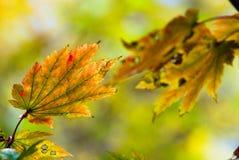 σφένδαμνος φύλλων φθινοπώρου Στοκ φωτογραφίες με δικαίωμα ελεύθερης χρήσης