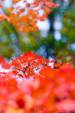 σφένδαμνος φύλλων φθινοπώρου Στοκ φωτογραφία με δικαίωμα ελεύθερης χρήσης