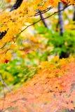 σφένδαμνος φύλλων φθινοπώρου Στοκ εικόνες με δικαίωμα ελεύθερης χρήσης